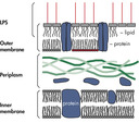 Bacterial Cell Wall Schematic diagram of the envelope of E. coli.